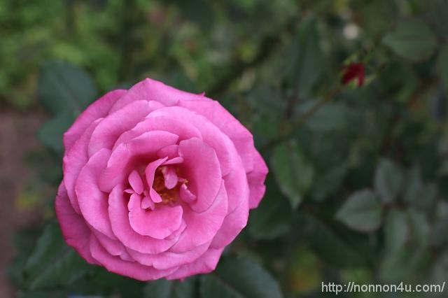バラ色の聖戦 88・89話感想 「Kiss」2015年12月号