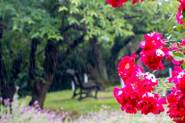 雨の薔薇園に行ってきました