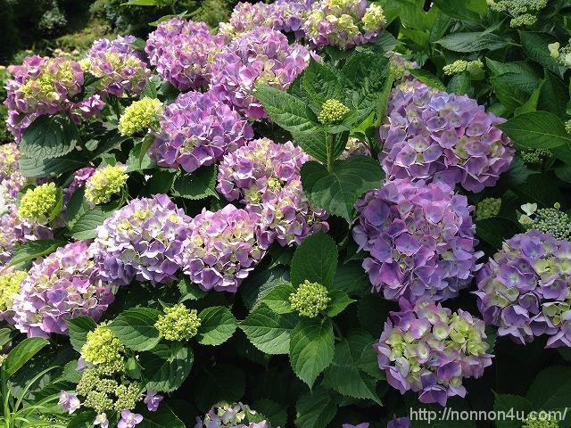 三景園に紫陽花を見に行ってきました